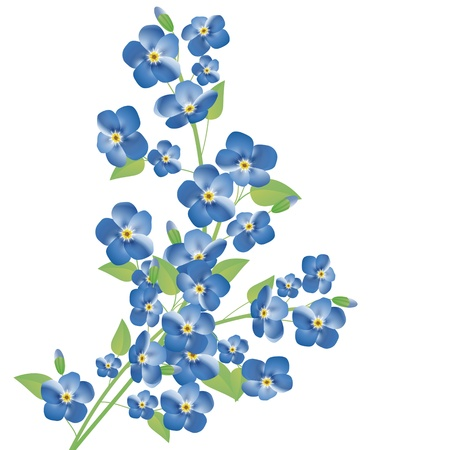forget me not: illustration of the forget-me-not flowers over white background Illustration