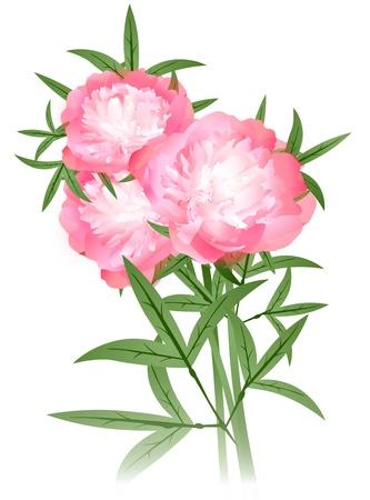 모란 꽃은 흰색 배경 위에 꽃다발 일러스트