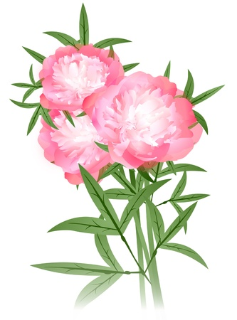 peony flowers bouquet over white background Иллюстрация