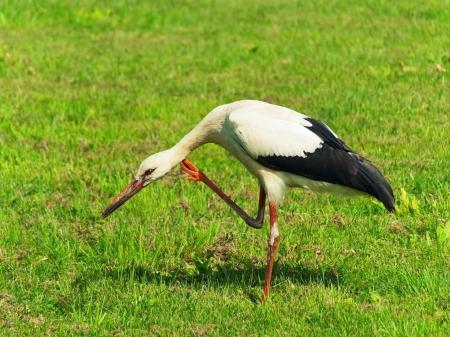 greengrass: Stork Is Scratching Oneself Standing On One Leg