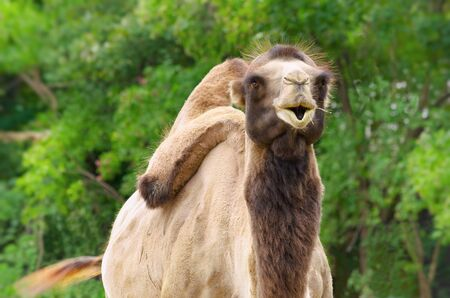 terrestrial mammal: Portrait Of A Two-humped Camel Against The Green Vegetation