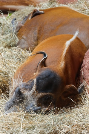 bush hog: Red River Hogs Are Sleeping In The Hay Stock Photo