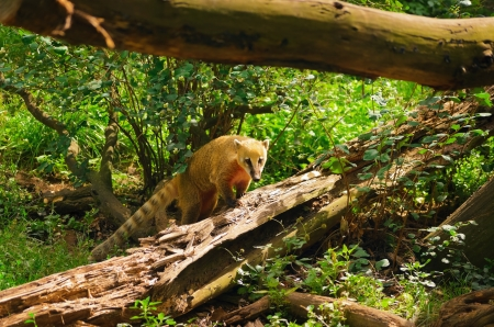 Ring-tailed Coati Is Climbing  On The Fallen Tree photo