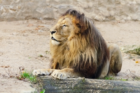 terrestrial mammal: Old Lion Is Lying On The Sand Stock Photo