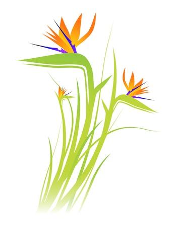 ave del paraiso: Bird of Paradise Flower (Strelitzia) M�s de fondo blanco Vectores