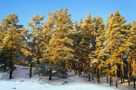 piny: Pine Forest On A Sunny Winter Day