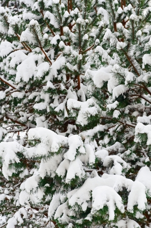 winterly: Winter Fir Branches Covered With Deep Snow