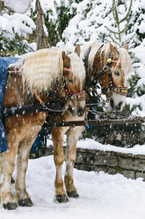 Two Horses In The Harness Under The Snow photo