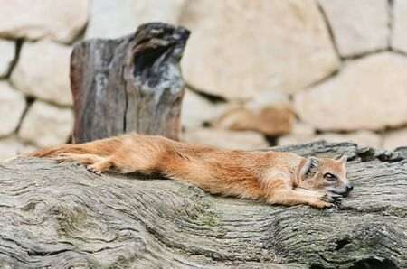 mongoose: Common Mongoose Is Resting On The Tree