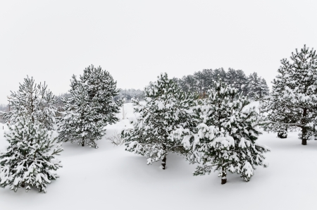 winterly: Winter Fir Trees Covered With Deep Snow Stock Photo