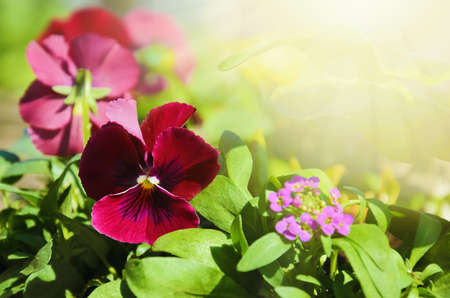 flamy: Pansy Violet flowers Under The Spring Sun