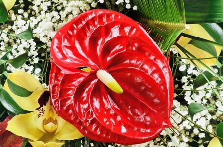 spadix: Red Flamingo Flower