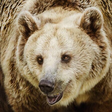 ursus: Close-Up Portrait Of The Wild Brown Bear