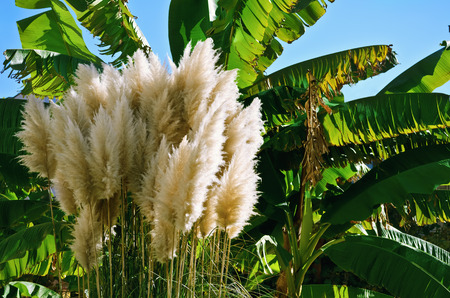 phragmites: Heap Of Cortaderia In Front Of Palm