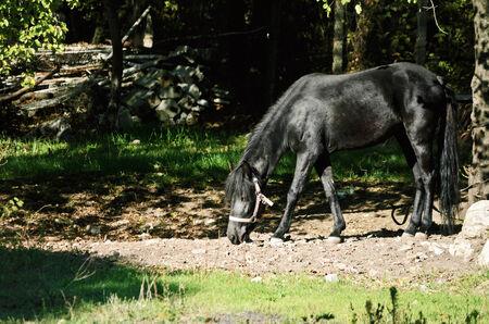 caballo negro: Caballo negro