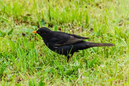 blackbird: Common Blackbird In The Green Grass