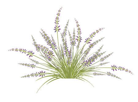 Lavender Flower Bush Over White Background Vector