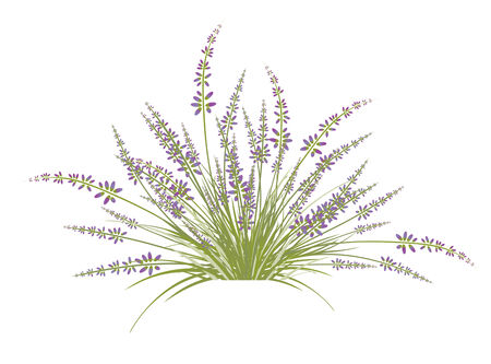 fragrant bouquet: Lavender Flower Bush Over White Background