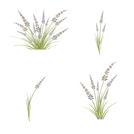 Collection of Lavender Flower Over White Background