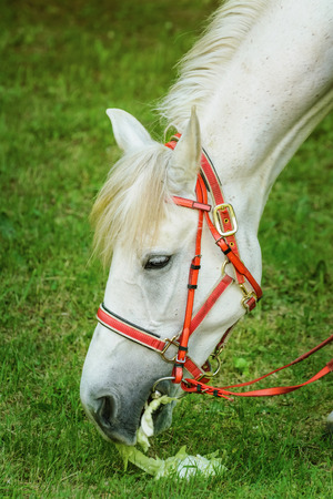 toed: White Horse Eats The Leaves Of Cabbage  Stock Photo