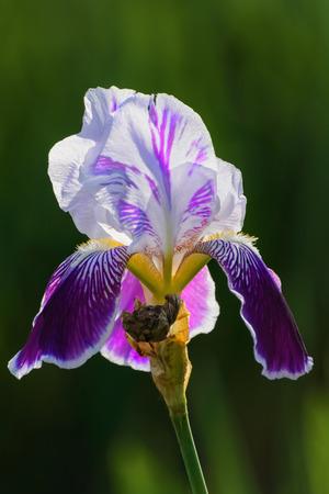 Iris Flower Over The Dark Green Background photo