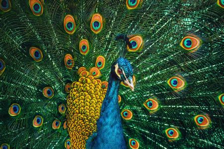 Portrait Of The Peacock During Courtship Display