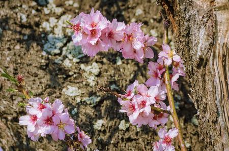 anthesis: Cherry Plum Flowers