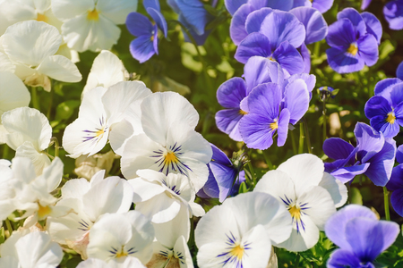 anthesis: Blue And White Pansy Flowers Stock Photo