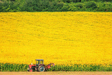 wheeled tractor: Field Of Sunflowers In Bulgaria