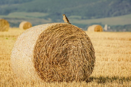 an agricultural district: The Young Falcon On A Haystack