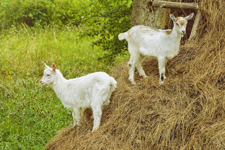 ruminant: Farm in Lithuania. Two White Goats On A Haystack