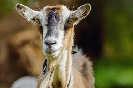 smug: Portrait Of A Looking Smug Billy Goat