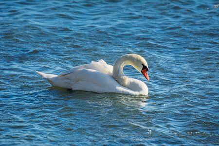 graceful: Graceful Swan On The Water