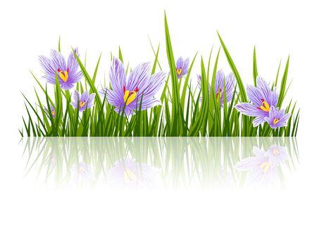 saffron: Illustration of Spring Purple Crocus Border, Copyspace