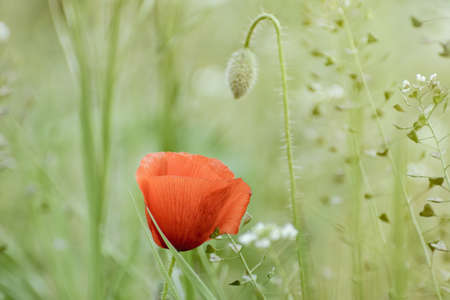 anthesis: Red Poppy Flower Amonfg The Greenery