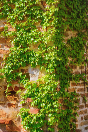 lobed: Corner of a Brick Wall Covered by Ivy