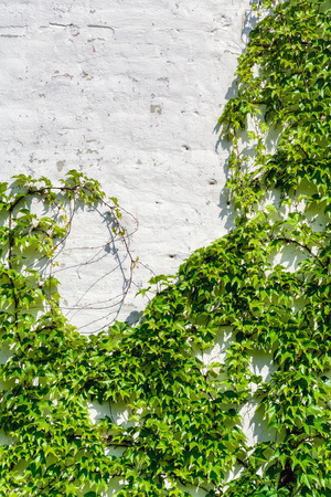 lobed: White Wall Covered With a Grape Ivy