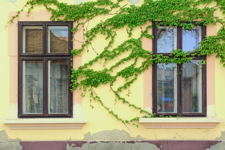 lobed: Windows on the Wall Which is Covered With Ivy Stock Photo