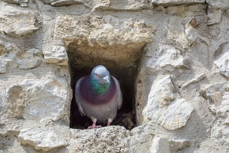 attic window: Pigeon in the Attic Window of an Old Building Stock Photo
