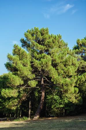 coniferous tree: Big Coniferous Tree under the Blue Sky Stock Photo