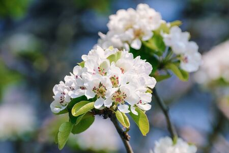 alycha: Cherry-plum Flowers