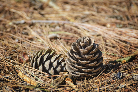 ecological environment: Strobiles among the Needles of a Conifer