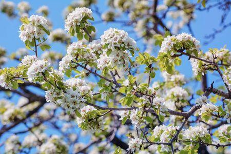 alycha: Cherry-plum Flowers