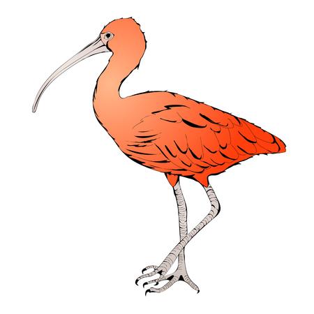 ornithology: Illustration of Eudocimus ruber or Red Ibis Over White Background Illustration