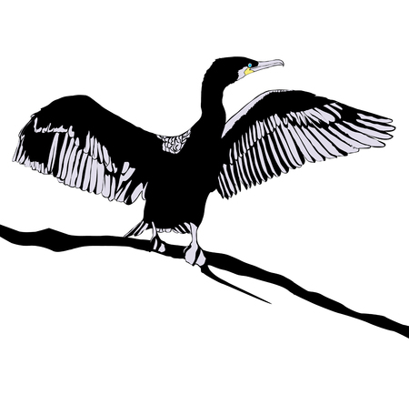 avian: Illustration of Hop off Cormorant Over White Background