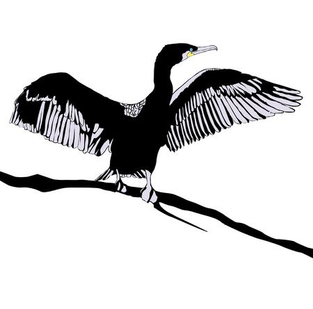 cormorant: Illustration of Hop off Cormorant Over White Background