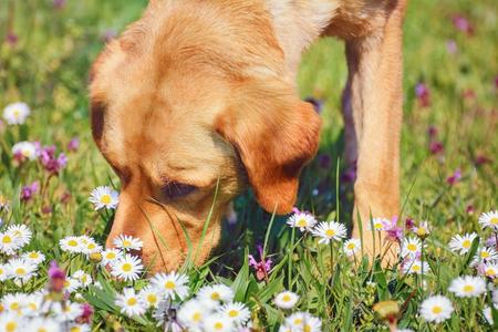 フィールドに鎮静花をくんくんかぐ犬