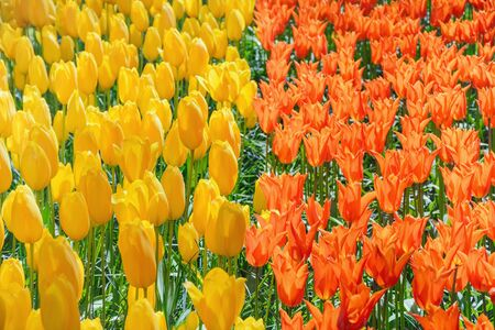anthesis: Red and Yellow Tulips (Shallow DoF)