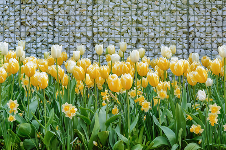 anthesis: Yellow Tulips near the Wall from Pebbles