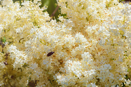anthesis: Liac (Syringa amurensis) with the Beetle on it